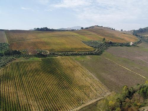 vitigno pecorino nel comune di offida