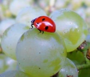 coccinella uva