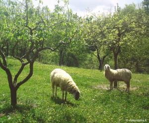 foto pecore