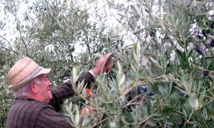 marconi silvano raccolta olive