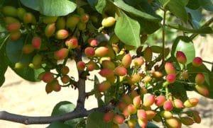 pistacchio verde di bronte