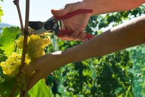 vitigno Malvasia delle Lipari
