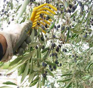 raccolta olive pettine