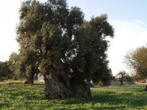 olivo secolare collina brindisi
