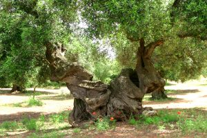 Terre Tarentine ulivo secolare