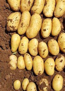 patata di galatina